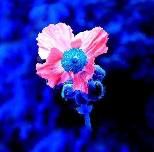 thetford-open-gardens-poppy