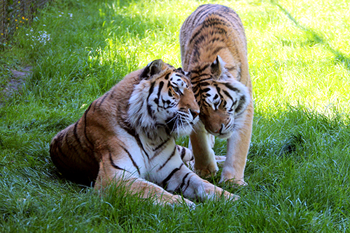 18-Tigers-smaller