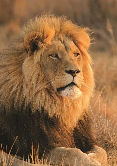18-Lion